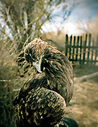 Only female eagle are used for hunting. This one is 3 years old.<br /> <br /> Eagle Hunting festival in Western Mongolia, in the province of Bayan Olgii. Mongolian and Kazak eagle hunters come to compete for 2 days at this yearly gathering. Mongolia