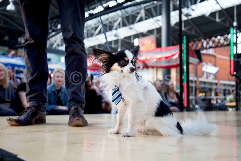 Colin the Papillion in his business collar and tie at Paw Pageant dog show at Spitalfields Market, London. Local people enter their dogs into the Shoreditch Unbound Festival Dog Show to win prizes and to show off their pets. Prizes and categories included: Dead Ringer, Dressed Up to the K-Nines, Fugliest Dog (meaning funny / ugly), Shoreditch Show Off, Paw-fection, Best in Ditch, Best Bitch in the Ditch.