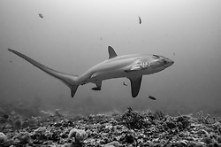Rarely seen by divers, a Pelagic Thresher Shark, Alopias pelagicus, cruises over a coral plateau while being serviced by cleaner fish. Monad Shoal, Malapascua Island, Visayan Sea, Philippines, Pacific Ocean