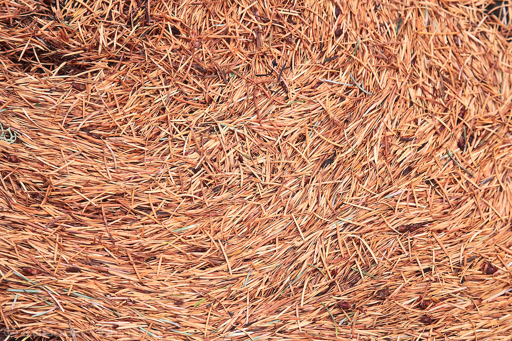Douglas Fir (Pseudotsuga menziesii) needles Gifford Pinchot National Forest, WA, USA