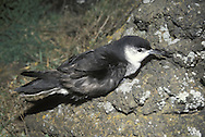 Little Shearwater - Puffinus assimilis