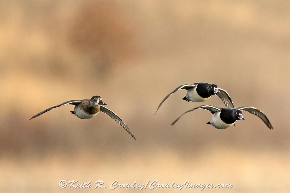 Courtship FLight of Ring-necked Ducks