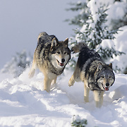 Gray Wolf pair running with their pack. Montana, Captive Animal