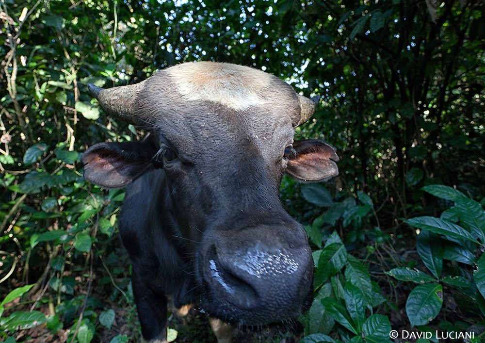 Closeup of a mithun while we were walking from Sisen to Pongging. Usually mithuns are not kept behind fences. Even if they live in the dense forest, these bovines are docile and gentle.