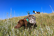 John Zeman's German shorthair Liza locks up on a Hungarian partridge during a Montana upland bird hunt.