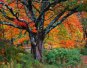 Autumn colors of sugar maples, Acer saccharum, along the Chippewa River, Ontario, Canada.