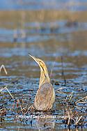 00685-00504 American Bittern (Botaurus lentiginosus) in wetland Marion Co. IL