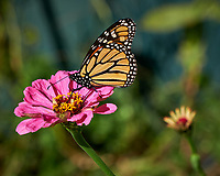 Monarch Butterfly Feeding on a Pink Zinnia Flower. Image taken with a Fuji X-H1 camera and 80 mm f/2.8 OIS macro lens (ISO 200, 80 mm, f/5.6, 1/800 sec).