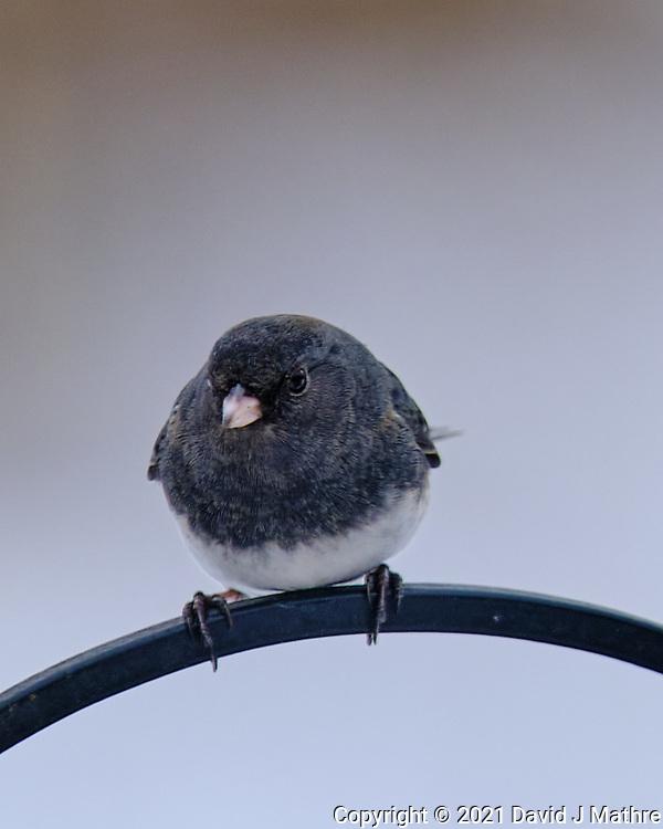 Dark-eyed Junco (Junco hyemalis). Image taken with a Fuji X-T3 camera and 200 mm f/2 OIS lens with a 1.4x teleconverter.