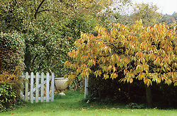 Picket gate with stone urn focal point. Prunus in autumn colour.