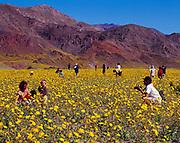 Park visitors, Michael Rucker photographing Karen, Gabriela and Alexander Rucker, in spring bloom of Desert Gold, Geraea canescens, alluvial fan near Ashcroft Mill, Death Valley National Park, California.  (MR)