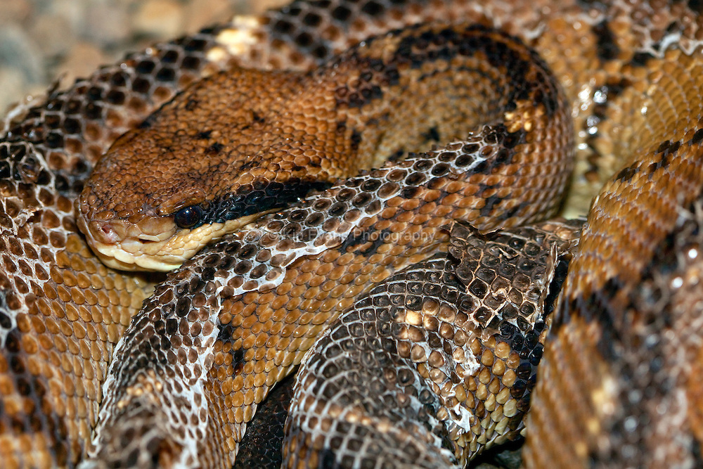 A venomous Central American bushmaster (Lachesis stenophrys) snake in Costa Rica.
