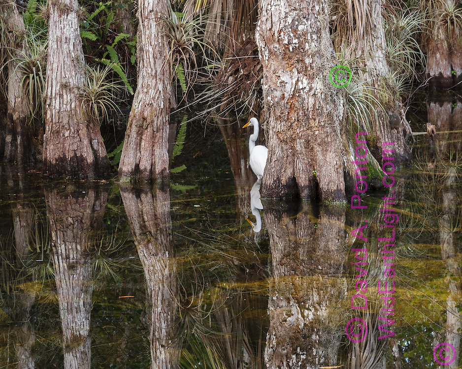 Cypress tree bases at the edge of a pool with great egret, Big Cypress National Preserve, © 2007 David A. Ponton