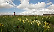 a field of yellow Grant-Duff's Irises (Iris grant-duffii) Photographed in Israel in February