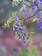 Flowers of Tree Wisteria (Bolusanthus speciosus) from Zimanga, South Africa.
