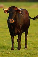 Tauros/Aurochs breeding site run by The Taurus Foundation, Keent Nature Reserve, The Netherlands