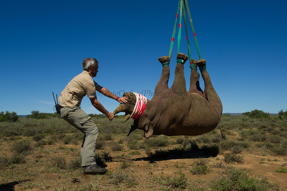 Black Rhinoceros (Diceros bicornis) slung from helicopter. Gavin Shaw, park section ranger<br /> Great Fish River Nature Reserve, Eastern Cape Province<br /> SOUTH AFRICA<br /> A viable breeding population of 15 animals being relocated to an undisclosed destination.<br /> ENDANGERED SPECIES. CITES 1