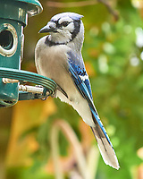 Blue Jay (Cyanocitta cristata). Images taken with a Nikon N1V3 camera and 70-300 mm VR lens.