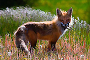 Artistic effects on a photograph of a vixen in early summer. The fox has a captured critter in her mouth.