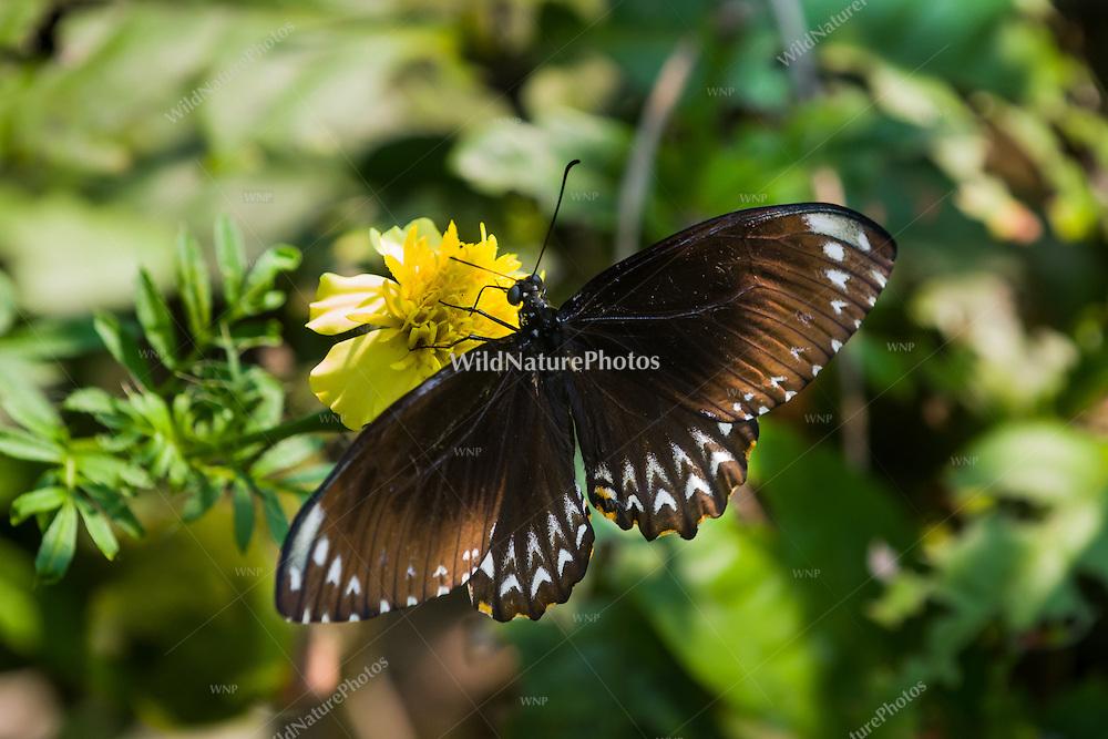 The Common Mime (Papilio clytia, form clytia) is a Black-bodied Swallowtail that displays Batesian mimicry. (Cambodia)