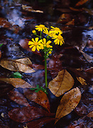 Spring bloom of groundsel on the flooded bottomlands of the Aucilla River, Florida Panhandle.