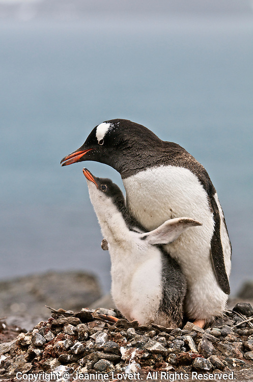 Cute gentoo penguin chick throw back is wings and calls while pressed up against its parent.