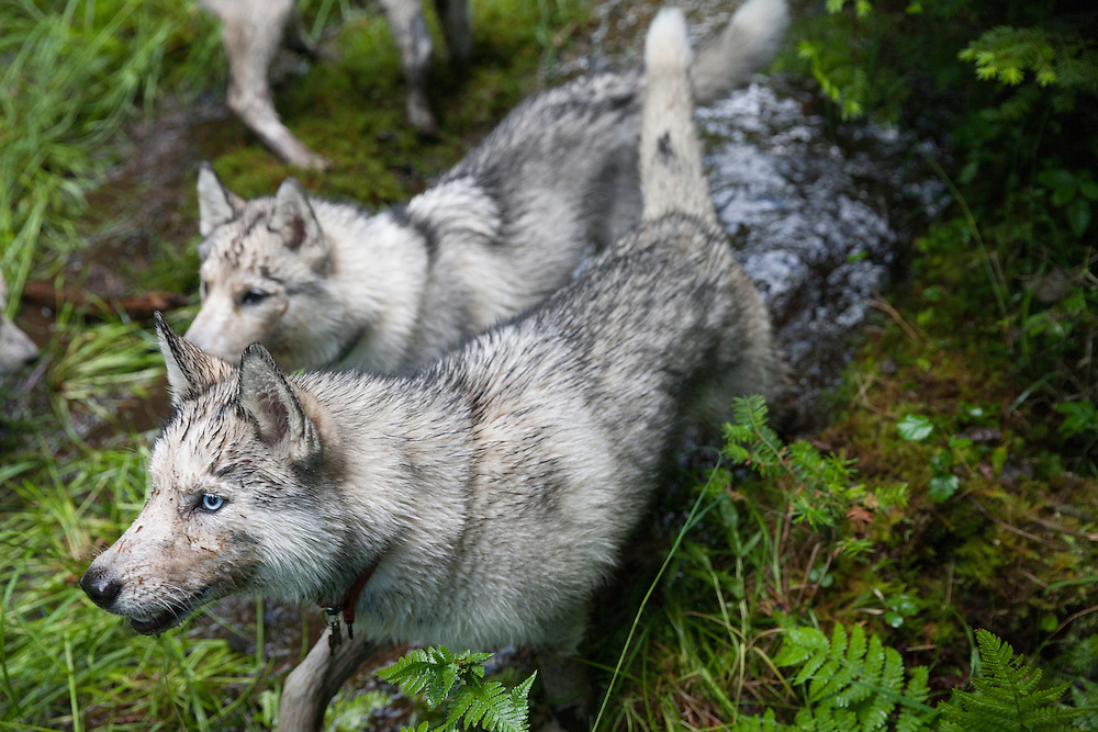 Young Husky dogs playing in the mud