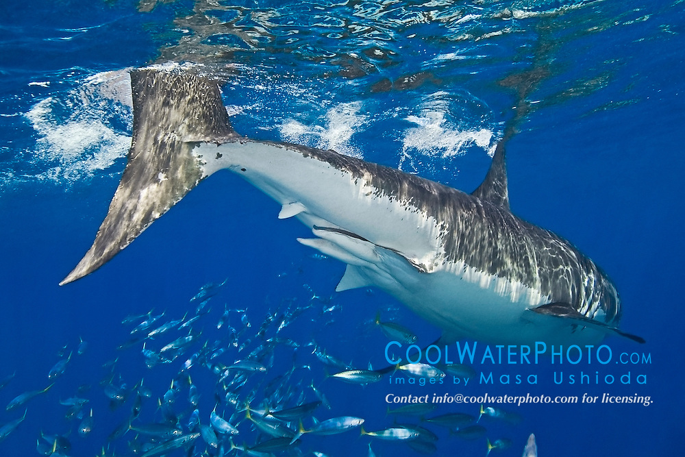 great white shark, showing a pair of claspers - sperm transfer organs of a male shark, Carcharodon carcharias, with schooling jack mackerels, Trachurus symmetricus, off Guadalupe Island, Mexico, East Pacific Ocean
