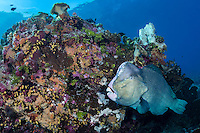 Bumphead Parrotfish at cleaning station <br /> <br /> Shot in Indonesia
