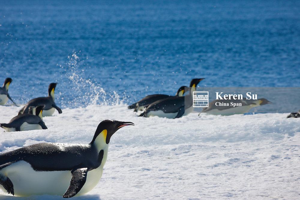 Emperor Penguins jump into the ocean, Snow Hill Island,  Antarctica