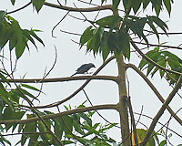 Blue-gray Tanager (Thraupis episcopus). Arenal Volcano Lodge. Image taken with a Nikon D3s camera and 70-300 mm VR lens