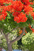 Close-up of tree with red flowers in bloom, Paphos