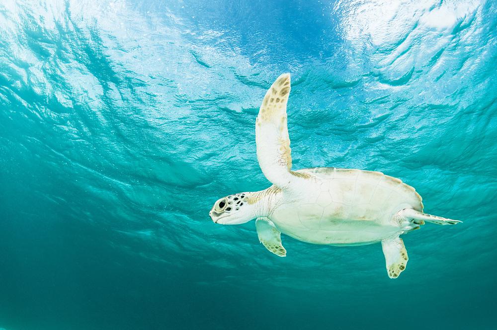 Green sea turtle (Chelonia mydas) under the surface off Eleuthera, Bahamas.