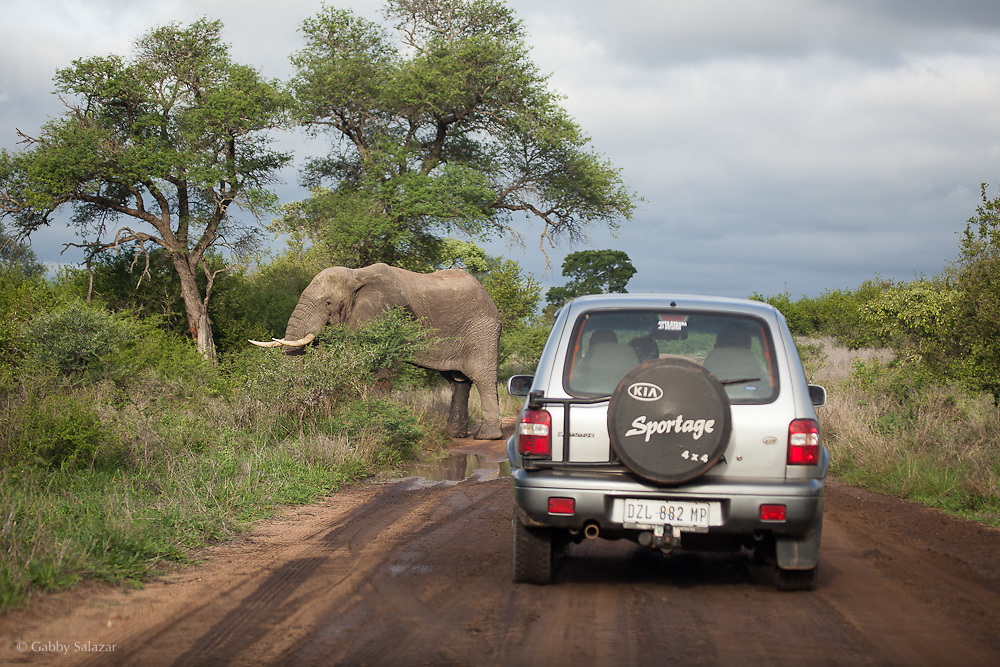 Tourists approach elephant in vehicle in Kruger National Park. South Africa. Organization for Tropical Studies Trip 2009.
