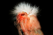 Die Rote Zuckmückenlarve (Chironomus) ist in allen Gewässergüteklassen zu finden, bevorzugt leben sie aber in stark verschmutzten Gewässern oder Gewässerrandbereiche, teilweise in Abwassergräben. Ähnlich wie der Rote Schlammröhrenwurm bauen sie sich Wohnröhren und nutzen die organischen Substanzen der Sedimente als Nahrung. Als Anpassung an diese sauerstoffarme Umgebung, hat die Rote Zuckmückenlarve Hämoglobin im Blut und kann so den geringen Sauerstoffanteil des Wassers ideal ausnutzen | Chironomidae (informally known as chironomids or non-biting midges) are a family of nematoceran flies with a global distribution. Larvae are important as food items for fish and other aquatic organisms. They are also important as indicator organisms, i.e., the presence, absence, or quantities of various species in a given body of water can indicate whether pollutants may be present.