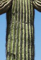 Ribbed trunk of saguaro, Carnegiea gigantea. Organ Pipe Cactus National Monument, Arizona.