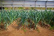 Organic leeks during an open day at Can Tria de Mata, near Mataro, Barcelona, Catalonia. (c) Dave Walsh 2017