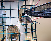 Black-capped Chickadee. Image taken with a Nikon D5 camera and 600 mm f/4 VRII lens
