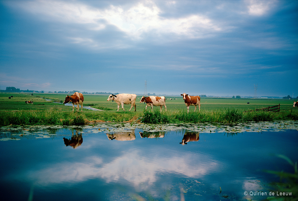 Cows in Dutch landscape on a summer evening. Het Groene Hart, South Holland.