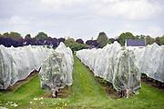 Nederland, Winssen, 2-7-2019 In een boomgaard, kersenboomgaard, worden kersen verkocht. De bomen met de rijpe vruchten zijn helemaal ingepakt in luchtdoorlatend zeildoek om te voorkomen dat vogels de boomgaard leeg eten . Foto: Flip Franssen