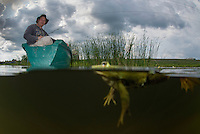 """Pool Frog (Pelophylax lessonae), over under shot, around Crisan village, Danube Delta, Romania. A pool frog is very similar in appearance to the closely related edible frog and marsh frog. These three species are often referred to as """"green frogs""""."""