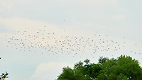 Flock of Birds in Flight. Sourland Mountain Preserve. Image taken with a Nikon D300 camera and 80-400 mm VR lens.
