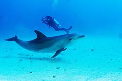 Tursiops aduncus, Indipazifischer Grosser Tuemmler und Taucher, Indian Ocean bottlenose dolphin and scuba diver, Straße von Gubal, Rotes Meer, Ägypten, Strait of Gubal, Red Sea Egypt