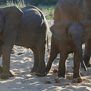 African elephant, young calves.  MalaMala Game Reserve. South Africa.