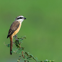 """The brown shrike is a bird in the shrike family that is found mainly in Asia. It is closely related to the red-backed shrike and isabelline shrike. The genus name, Lanius, is derived from the Latin word for """"butcher"""", and some shrikes are also known as """"butcher birds"""" because of their feeding habits."""