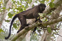 Uganda Mangabey