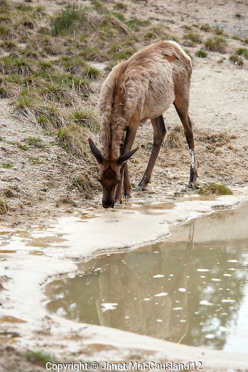 A young Elk (Cervus canadensis) is tasting a hot spring at West Thumb, Yellowstone national park.