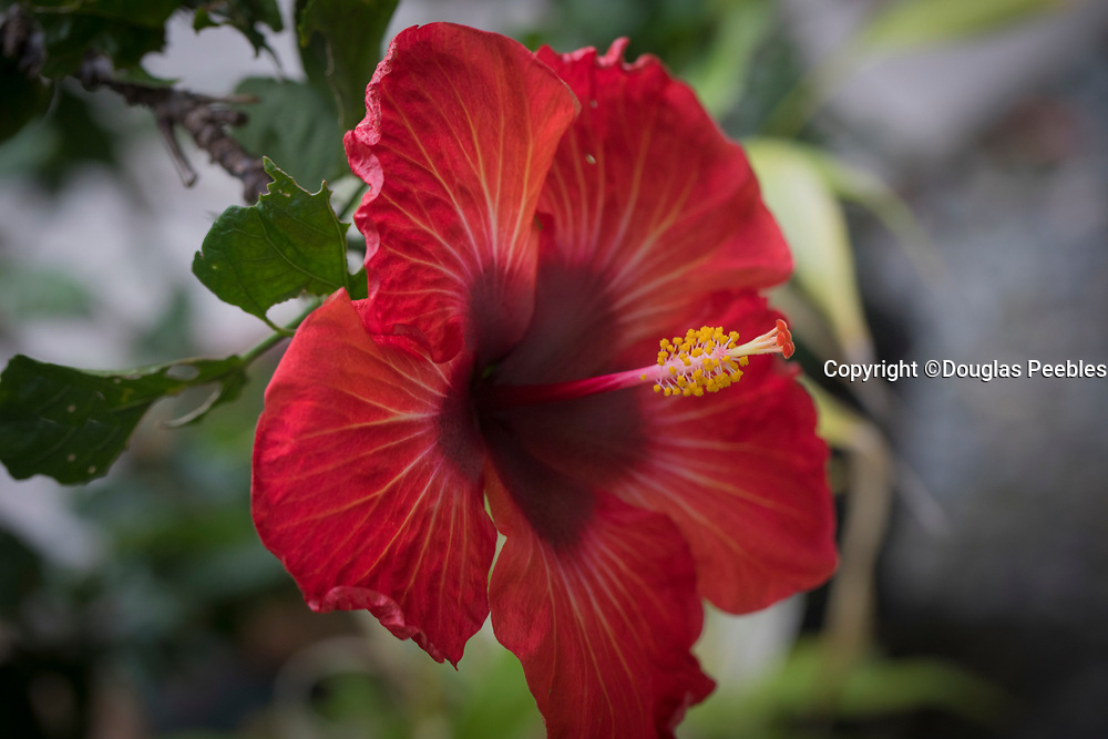Red Hibiscus, Hawaii