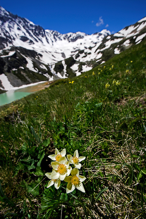 Russia, Caucasus, Mountain plant and Lake Donguzorun with Mount Donguzorun mountains behind.