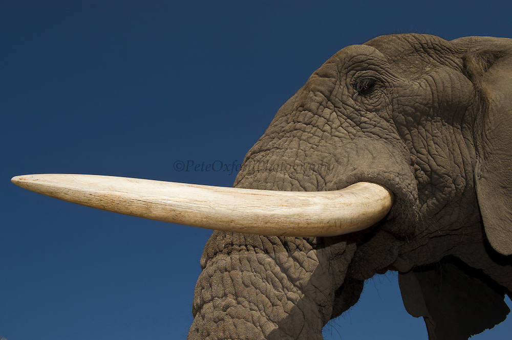 African Elephant Eye & Tusk (Loxodonta africana) Domesticated orphaned elephants from culls. Now living with Doug and Sandi Groves of Grey Matters Foundation.<br /> Moremi Game Reserve, Okavango Delta<br /> BOTSWANA<br /> IUCN STATUS: Vulnerable